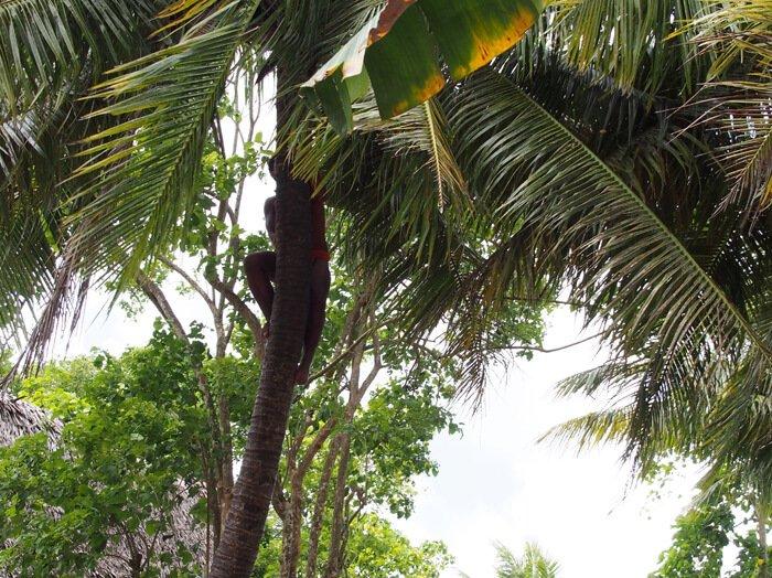 チャモロの木登り