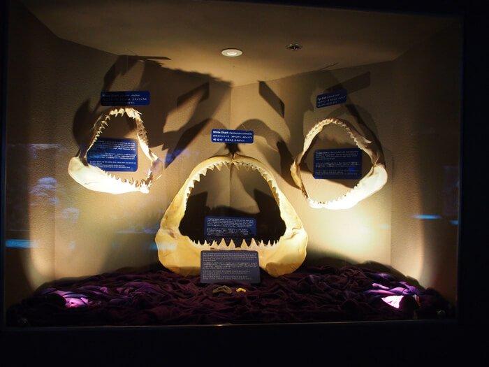 サメの歯の展示