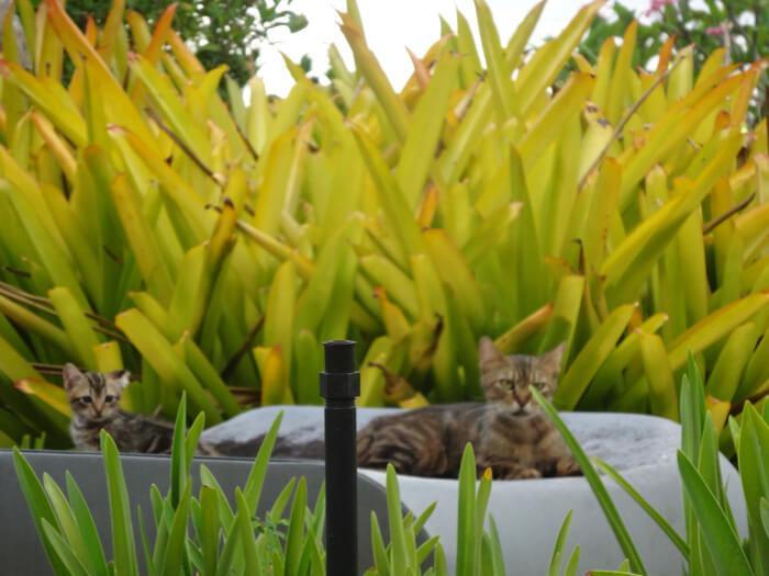 ハイアットグアムの猫